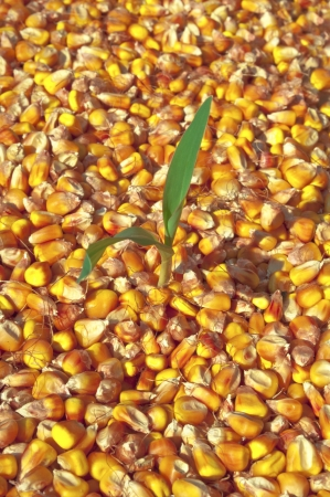 Small plant of corn growing in corn seed photo