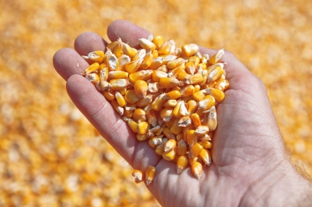 Corn seed in hand of farmer - agriculture image