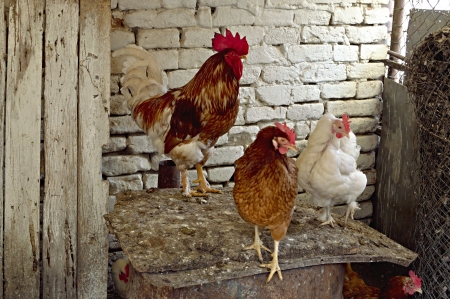 Domestic chickens in the chicken coop, agriculture and farm life concept  Stock Photo