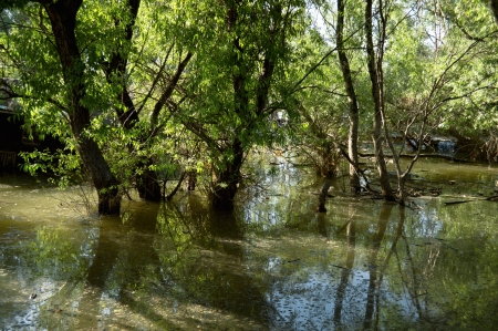 Flooded forest of oak trees, Danube river
