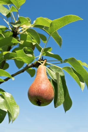 Tasty young pear hanging on tree