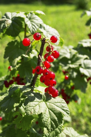 Tasty red currants in the garden