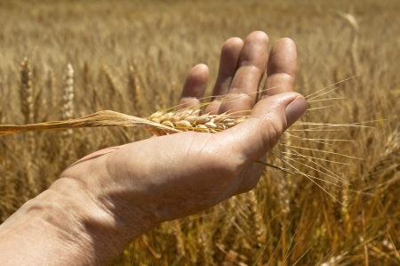 Wheat ears in the hand  Harvest concept photo