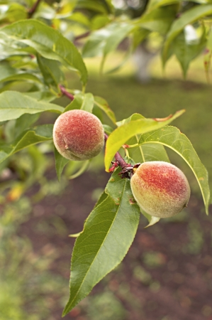 Green peach fruits growing on a peach tree branch  Selective focus with shallow depth of field