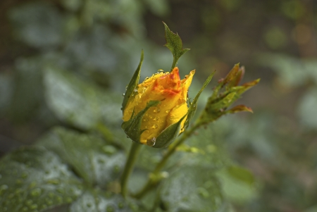 Freshly yellow rose flower with rain drops. Soft focus. photo