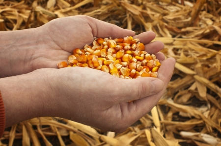 Corn seeds in a female hands  Agriculture image