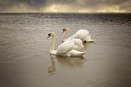 Pair of swans floating on the surface of a lake. Soft focus. Stock Photo