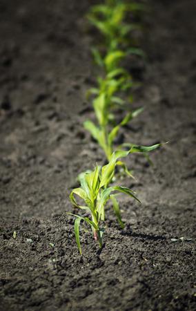 Young corn field on the farm  Spring season   Stock Photo