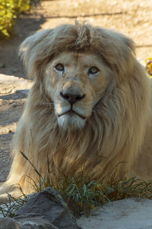sightsee: Male African lion in all of his glory