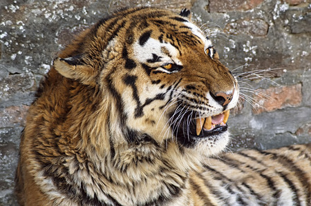 Close up of a tiger face with bare teeth of Bengal Tiger