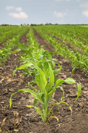 Young green corn in agricultural field in early spring. Shallow depth of field.