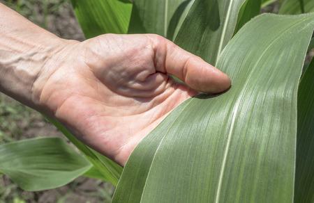 Examination corn leaf. Agriculture rural scene.