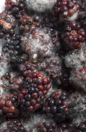 decaying: Mouldy blackberries covered in fungus and decaying
