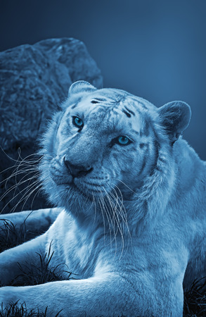 Tiger in night with blue effect. Stock Photo