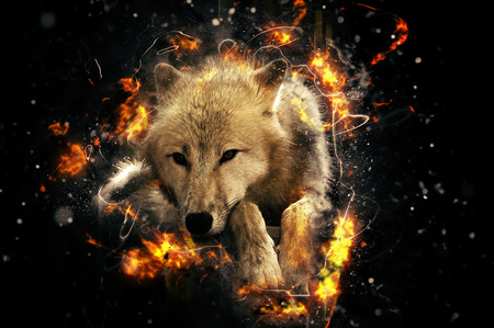 gray wolf: White wolf, fire illustration Stock Photo