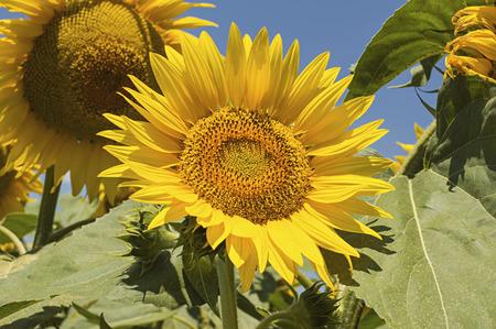 Closeup of sunflower against a blue sky