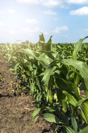 corn rows: Young green corn in agricultural field. Selective focus. Stock Photo