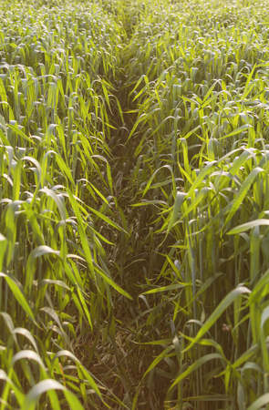 non cultivated land: Wheat in agricultural field in early spring, selective focus.