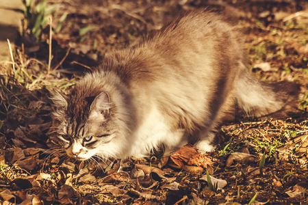 stalking: Domestic cat searching and stalking a prey during the fall afternoon. Blur background. Selective focus.