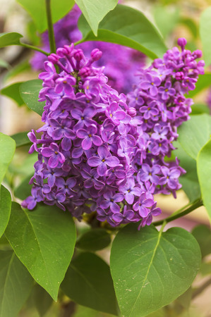 syringa: Blooming common lilac (Syringa vulgaris) in spring garden. Selective focus with shallow depth of field.