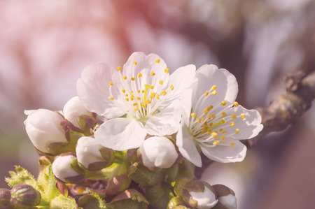 Cherry blossoms on a spring day. Selective focus. Stock Photo
