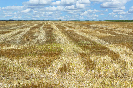 Golden field after harvesting and blue sky Stock Photo