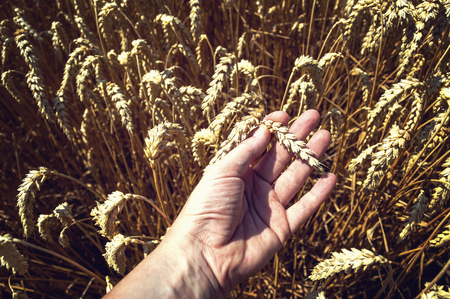 Wheat ears in farmer hand. Harvest concept.