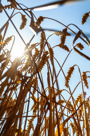 Sun over wheat field in summer. Selective focus. Stock Photo