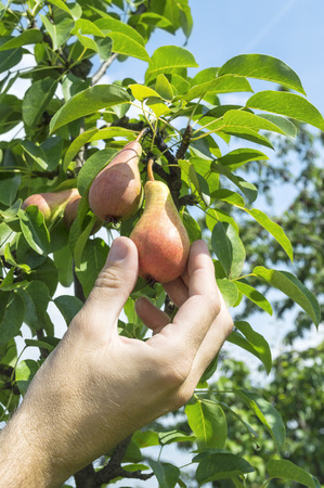 Male hand harvest of sweet pears.