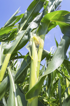 Young cob of corn growing in a field. Agricultural scene.