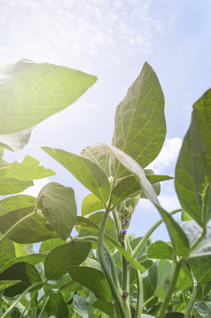Soy plant leaves in the cultivate field, against the sun
