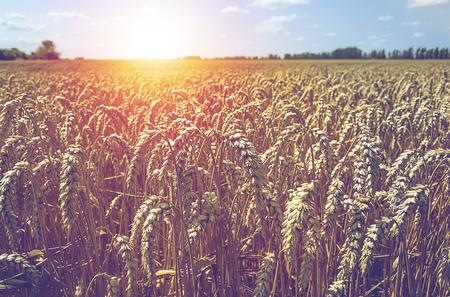 Ripe wheat field. Summer landscape. Stock Photo