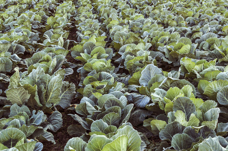 Cabbage field. Cultivation of cabbage in an open ground in the field. Selective focus.