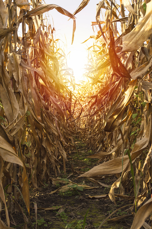 monoculture: Corn on stalk in cultivated maize field ready to harvest, selective focus