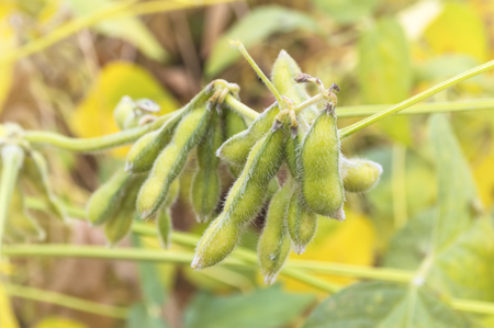 Close up of a green soybean plant. Selective focus.