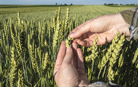 Female hand in barley field, farmer examining plants,  agricultural concept. Selective focus.