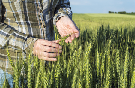 Female hand in barley field, farmer examining plants, agricultural concept. Selective focus. Stock Photo