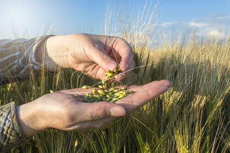 cultivating: Barley seed in female hand, farmer examining plants, agricultural concept. Selective focus.
