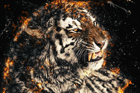 bengal fire: Close up of a tiger face with bare teeth of Bengal Tiger, fire illustration.