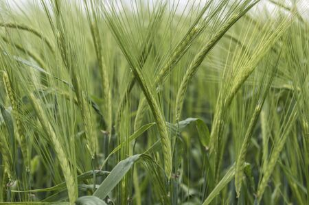 Ears of barley in a field, agricultural concept