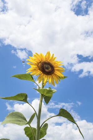 One sunflower with a blue sky in the background. A worker honey bee buzzing or flying around a flower.Agricultural concept