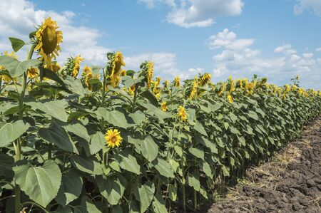 Blooming sunflowers in the field with blue sky and white clouds in the background, agricultural concept