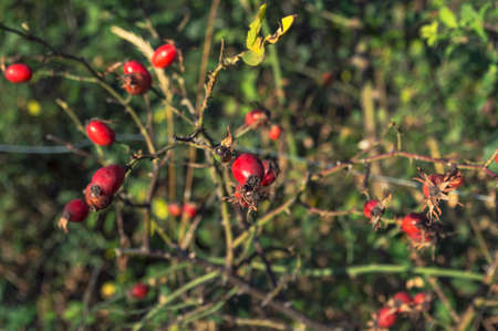 Close up of shiny red rose hips on a sunny autumn day, Selective focus
