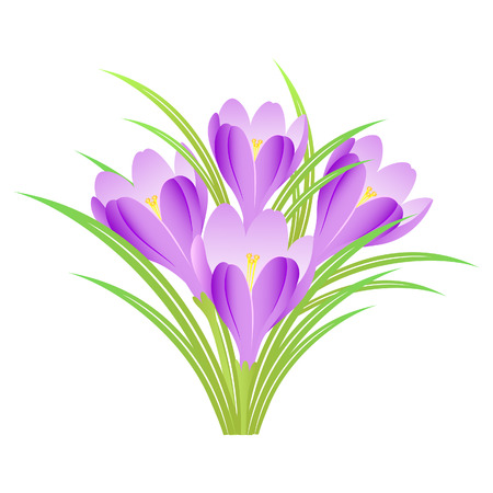 Bunch of spring crocuses on a white background