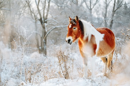 Brown and white or pinto colored Icelandic horse in the snow on a blistering cold winter day with evening sunshine and frost in the trees Banco de Imagens