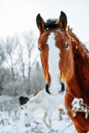 Portrait of the red horse in winter time
