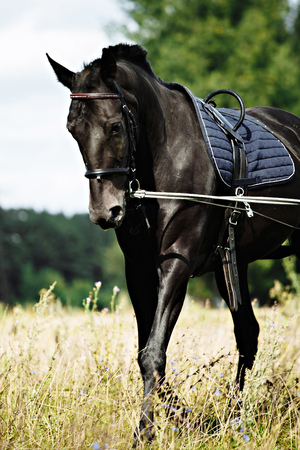 Training a black horse on the lunge. Outside on the field. Summer day Standard-Bild