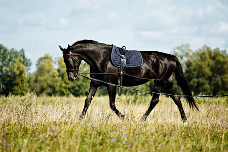 Training a black horse on the lunge. Outside on the field. Summer day