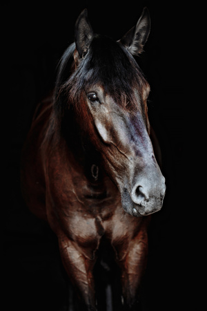 Black horse portrait isolated on black, Ukrainian horse. Banque d'images