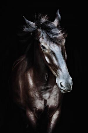 Black horse portrait isolated on black, Ukrainian horse. Stock Photo